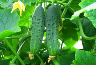 Огурцы начали плодоносить: чем подкормить их сейчас, чтобы урожай был больше, а плоды крепче и вкуснее